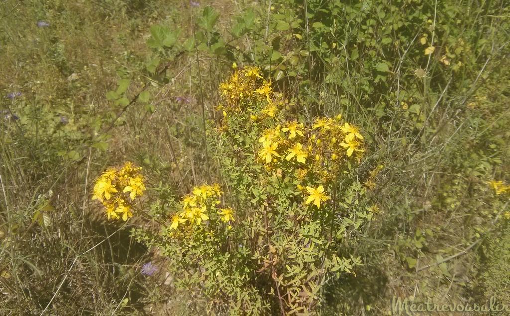 Hipérico o hierba de San Joan