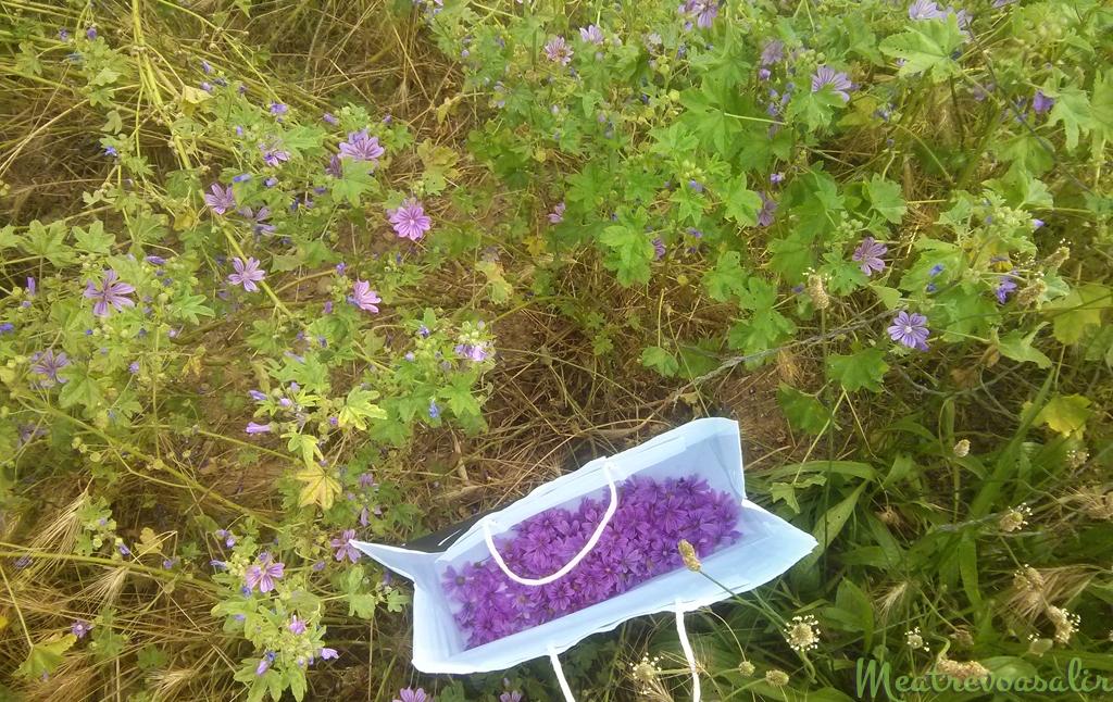 Recetas Chamánicas: Recolección de flores de malva para hacer infusión